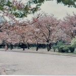 cherry blossoms japan corrected