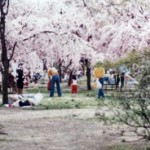 cherry blossoms japan families